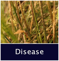 Plant Disease decorative photo, moldy wheat.