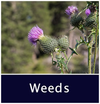 Weeds decorative photo, thistle.